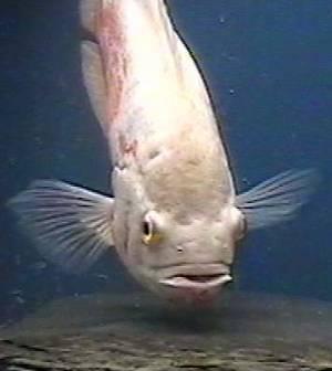 albinooscar1.jpg