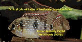 african_butterfly_cichlid_-_hemichromis_thomasi.jpg