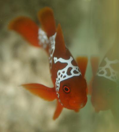 PNG Lightning Maroon Clownfish small.jpg