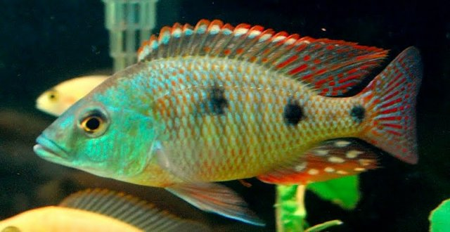 Sunburst Peacock Cichlid | www.pixshark.com - Images ...