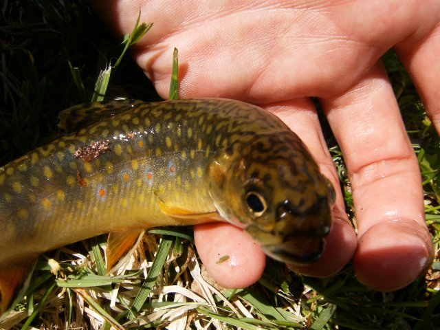 First brook trout of 2011 003.jpg