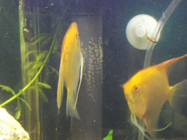 Angelfish laid eggs and I need help! | AquariaCentral com