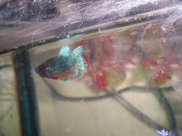 Bettas with fin damage (long post, lots of pics