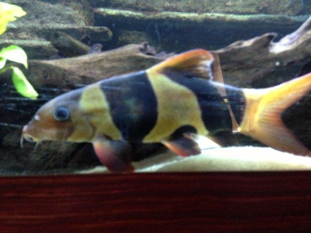 Clown loach skinny disease? | AquariaCentral.com