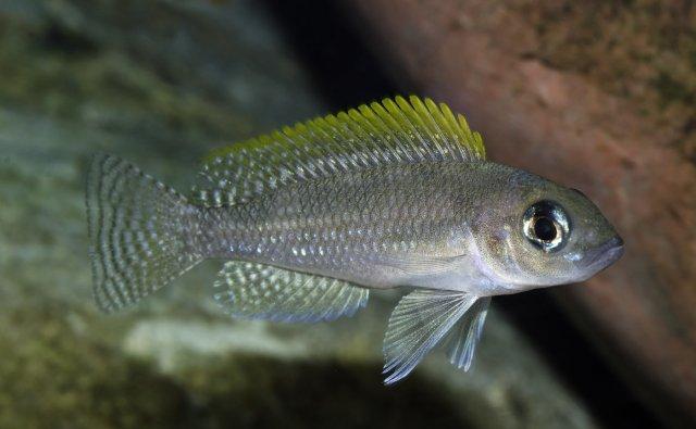 Neolamprologus caudopunctatus female.jpg