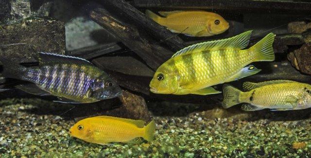 Malawi Cichlids.jpg