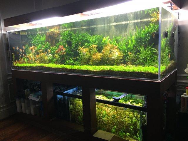 Planted angelfish aquarium 1000 aquarium ideas for Koi fish tank setup