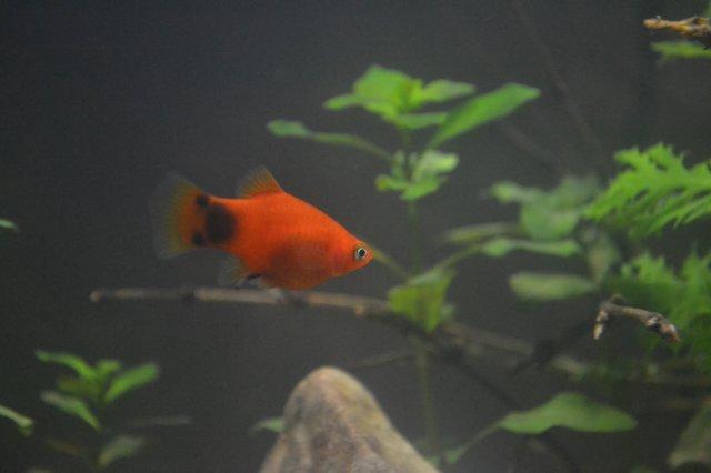 Are my fish pregnant? | AquariaCentral com