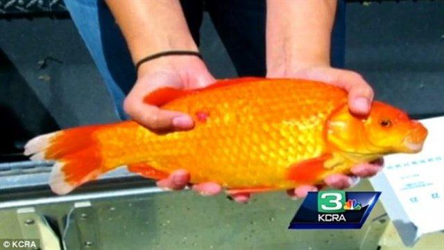 goldfish-lake-tahoe-_tmzk.jpg