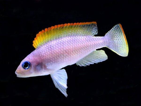 Neolamprologus-caudopunctatus-«Orange-Fin».jpg