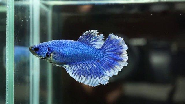 BLUE_FEMALE_BUTTERFLY.jpg
