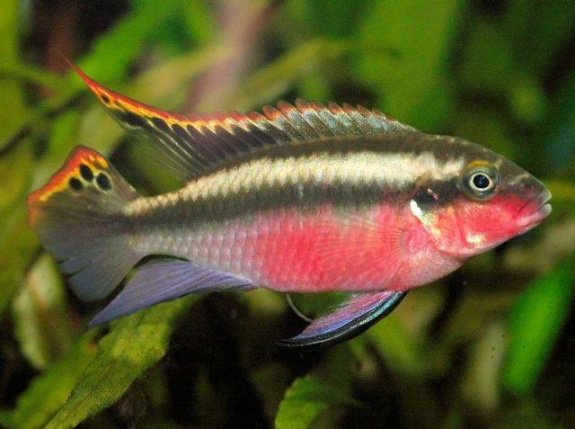 Pelvicachromis_pulcher_male_Tino_Strauss_800-56a32f063df78cf7727c46b5.jpg