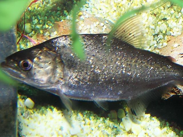 Elongatus piranha for sale! | AquariaCentral com