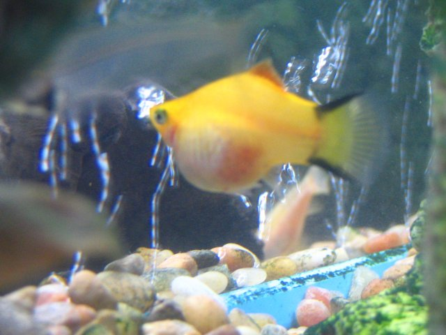 Pregnant platy for Pregnancy and fish