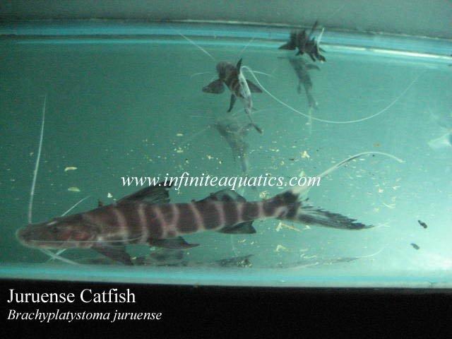 Tigrinus & Juruense   AquariaCentral.com