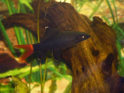 Using Red Tail Shark S Tail Color As Health Indicator Aquariacentral Com
