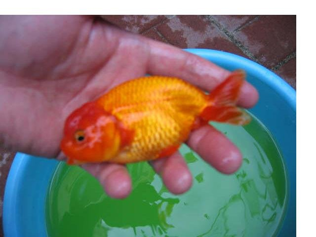 Ranchu for sale, local pick up only   AquariaCentral com
