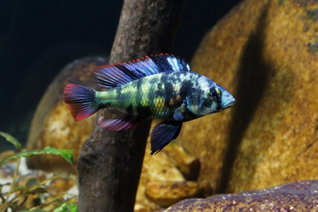 What is the most desired/rare cichlid of them all ... Electric Blue Peacock Cichlid
