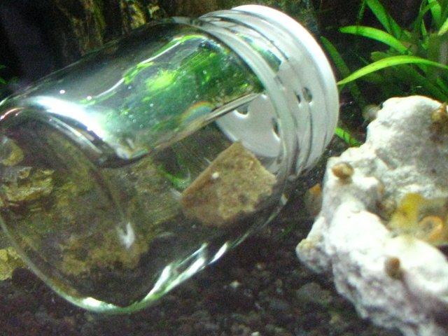 My Diy Pond Snail Trap Aquariacentral Com