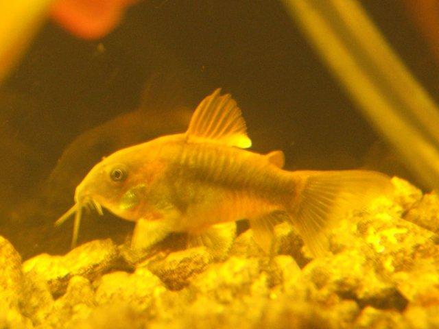 Weird Growth on Cory Dorsal Fin | AquariaCentral.com