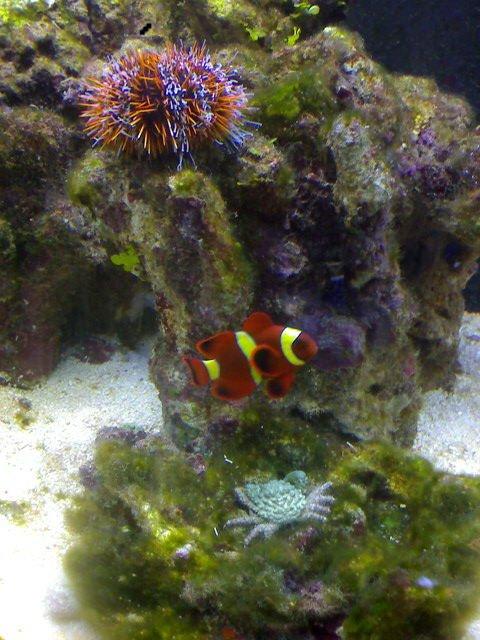 Urchin maroon gold clown emerald crab.jpg