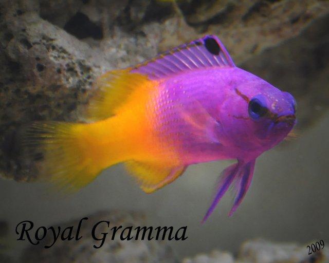 Royal Gramma.jpg
