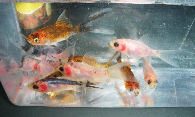 Cute baby shubunkin goldfish for Baby koi fish for sale