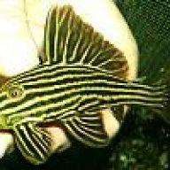 EXCELLENT GOLDEN MONKEY FLOWERHORN!!***** | AquariaCentral com