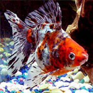 Goldfish White spots, red spots, veins, deteriorating fins